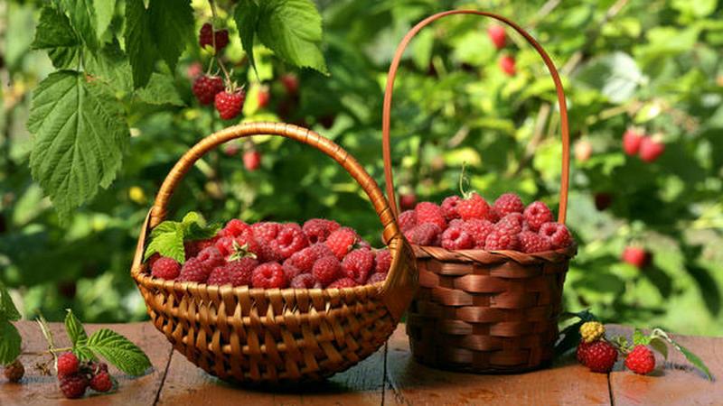 В Грузии запретят продажу собранных в лесу ягод без специального разрешения