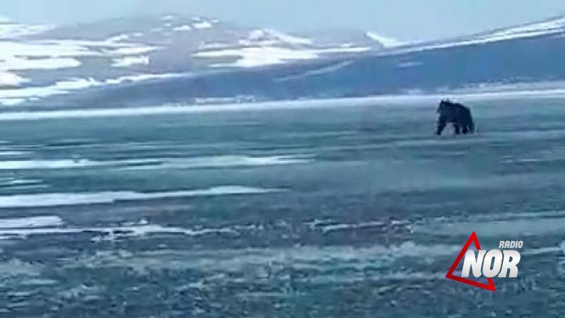 В озере Паравани появился медведь\видео