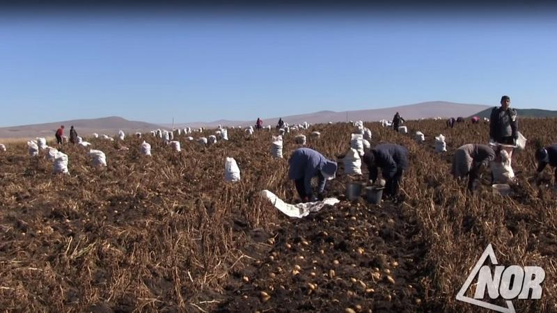В Ниноцминде начался сбор картофеля/видео