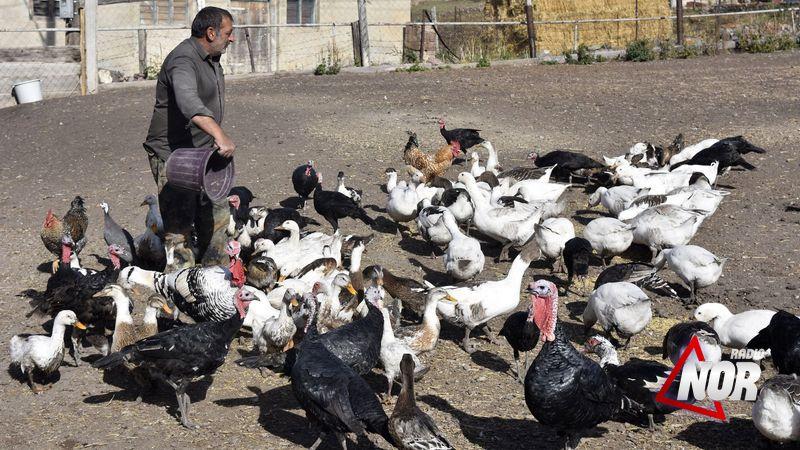 Разведение домашних птиц в селе Б. Гондура Ниноцминдского муниципалитета\видео