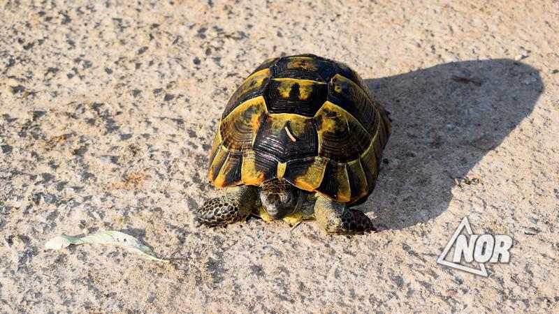Наблюдается увеличение черепах в Ниноцминдском муниципалитете
