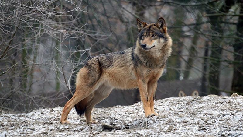 В городе Ниноцминда волки загрызли бычка